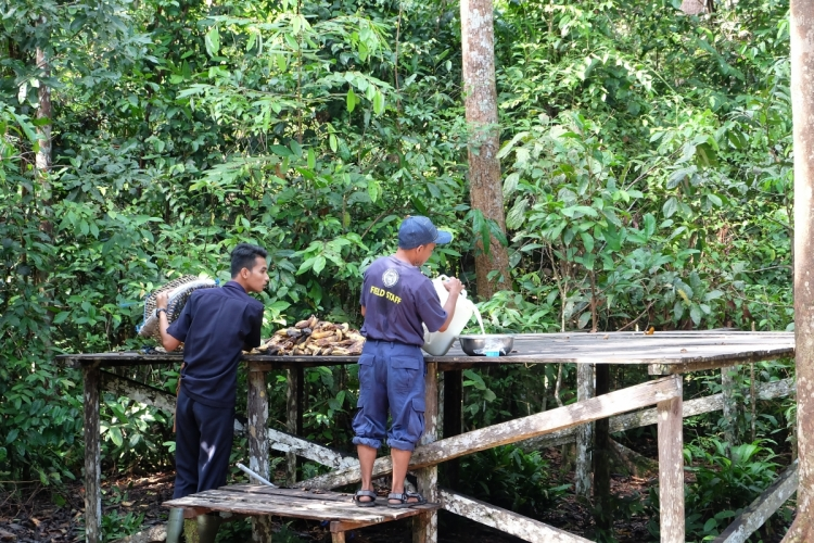 國際紅毛猩猩基金會研究人員風雨不改餵飼及監察紅毛猩猩狀況。
