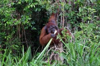 偶遇身型龐大的成年雄性紅毛猩猩,既驚又喜。