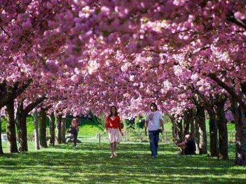 布魯克林植物園櫻花路