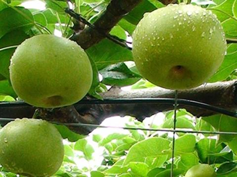 日本鳥取縣水晶梨