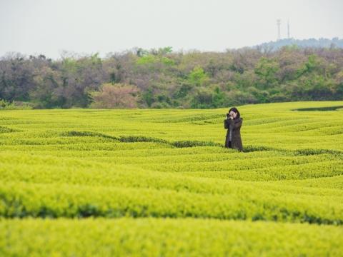 放眼一片綠油油的茶園,是鍾楚紅取景拍攝的好地方。