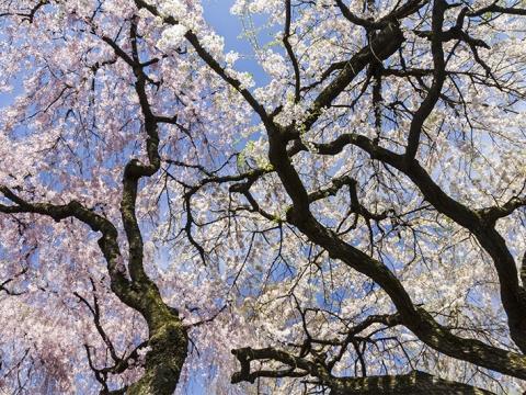 布魯克林植物園櫻花