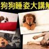 狗狗睡姿有意思!6個姿勢各有原因